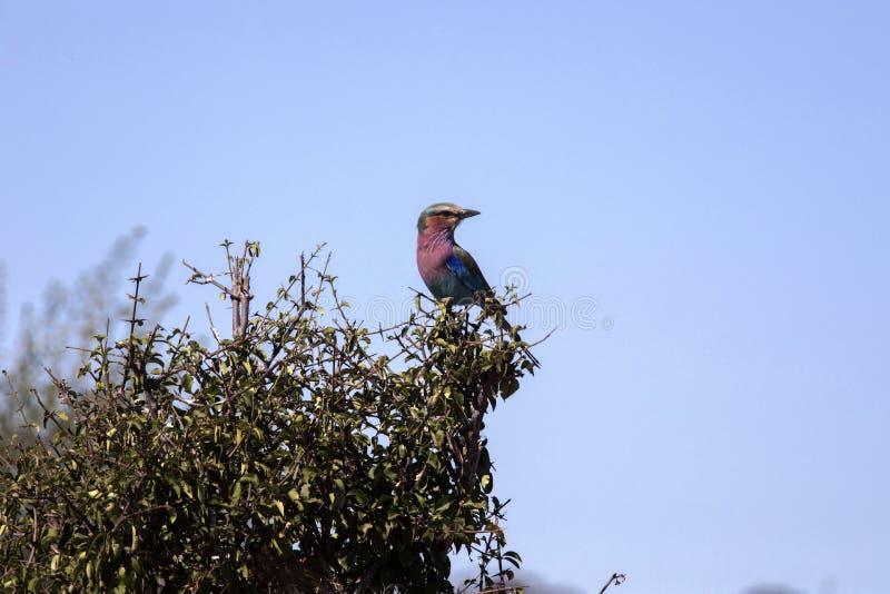 Rouleau de lilas-breasted, caudata de Coracias, parc national de Chobe, Botswana images stock