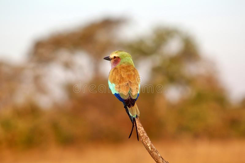 Rouleau de lilas-breasted dans l'Okavango photos stock