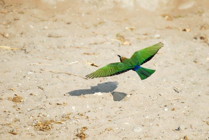 Rouleau de lilas-breasted de vol, parc national de Chobe, Botswana photos stock