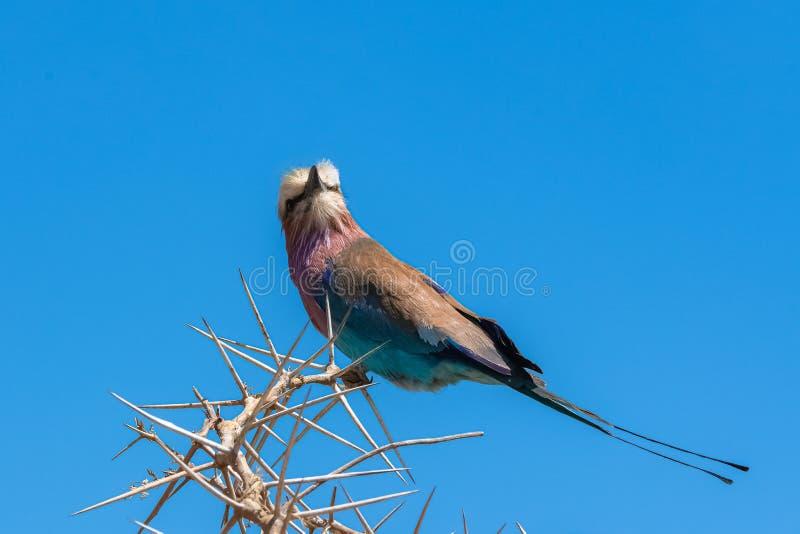 Rouleau de lilas-breasted, oiseau coloré photos stock