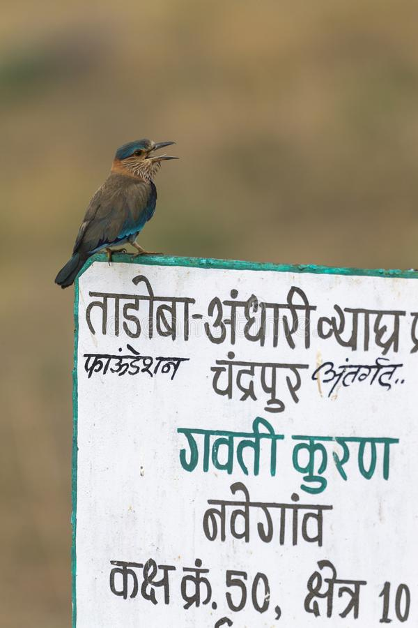 Rouleau indien se reposant sur l'enseigne chez Tadoba Andhari Tiger Reserve, maharashtra, Inde photographie stock libre de droits