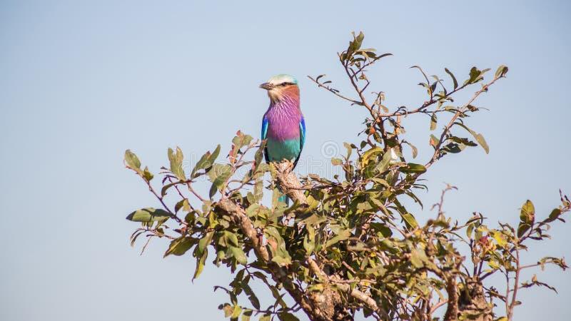 Rouleau lilas de Breasted été perché dans un arbre photographie stock libre de droits