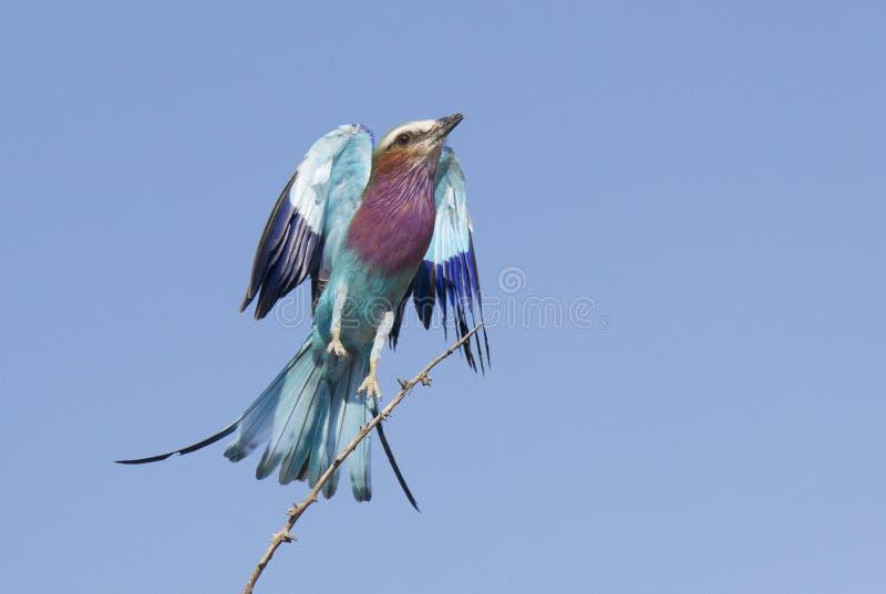 Rouleau lilas de Breasted (caudata de Coracias) décollant, Botswana photos libres de droits