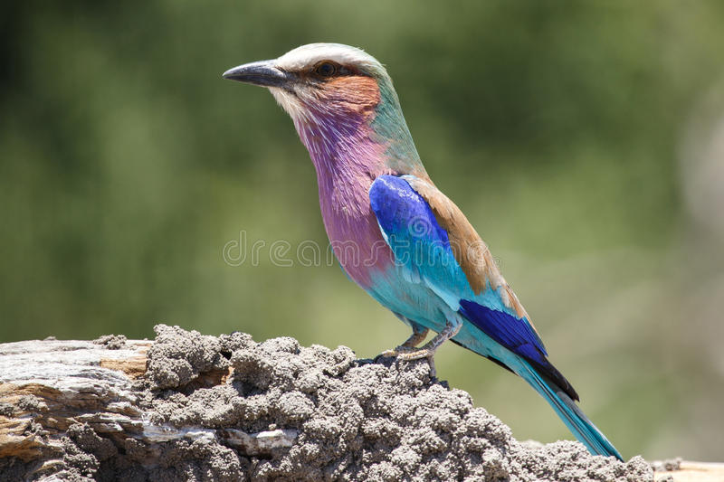 Rouleau lilas de Breasted - Chobe N P Le Botswana, Afrique photo stock
