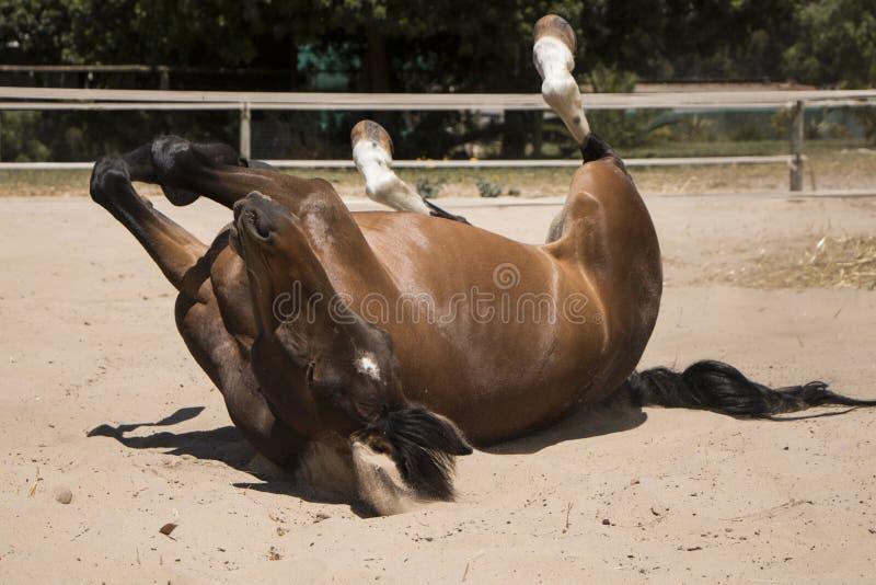Roulement brun de cheval de châtaigne en sable photos stock