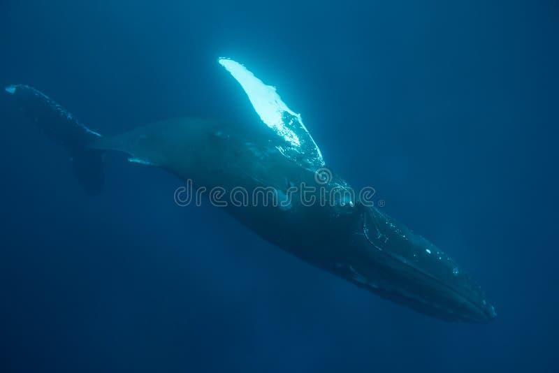 Roulement de baleine de bosse de son côté photos stock