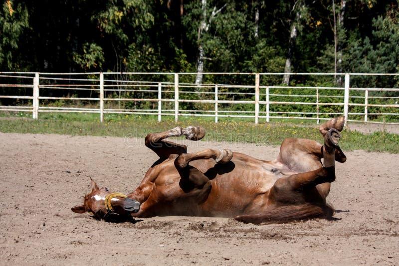 Roulement de cheval de châtaigne dans le sable photographie stock libre de droits