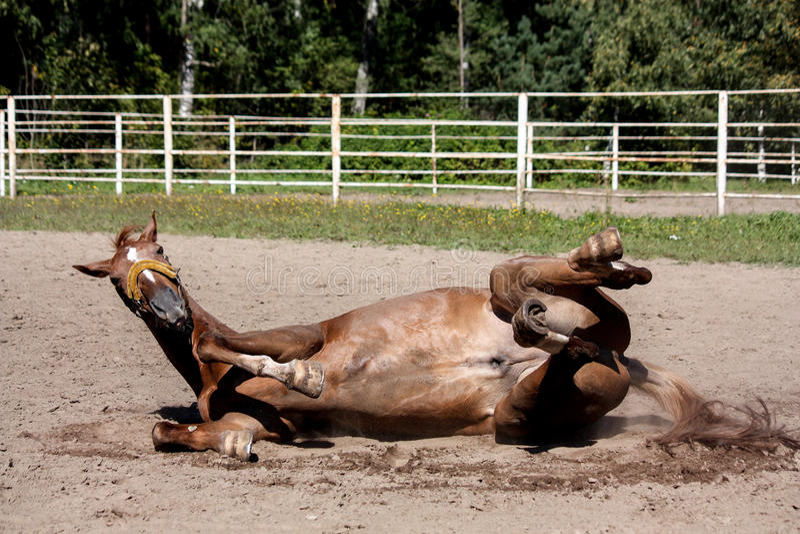 Roulement de cheval de châtaigne dans le sable photos stock