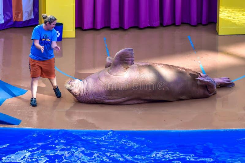 Roulement de morse sur le plancher, guidé en entraîneur chez Seaworld photo libre de droits