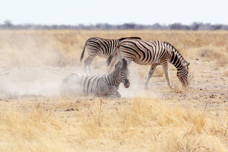 Roulement de zèbre sur le sable blanc poussiéreux photographie stock libre de droits
