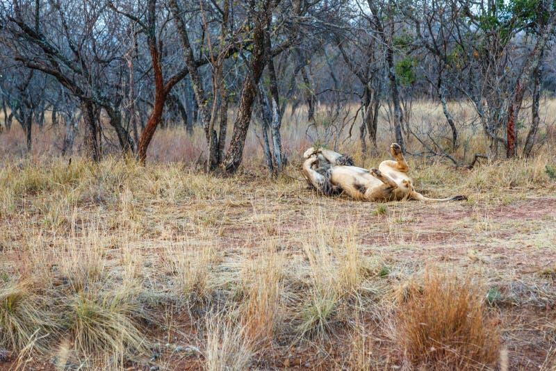 Roulement masculin de lion dans l'herbe photos stock