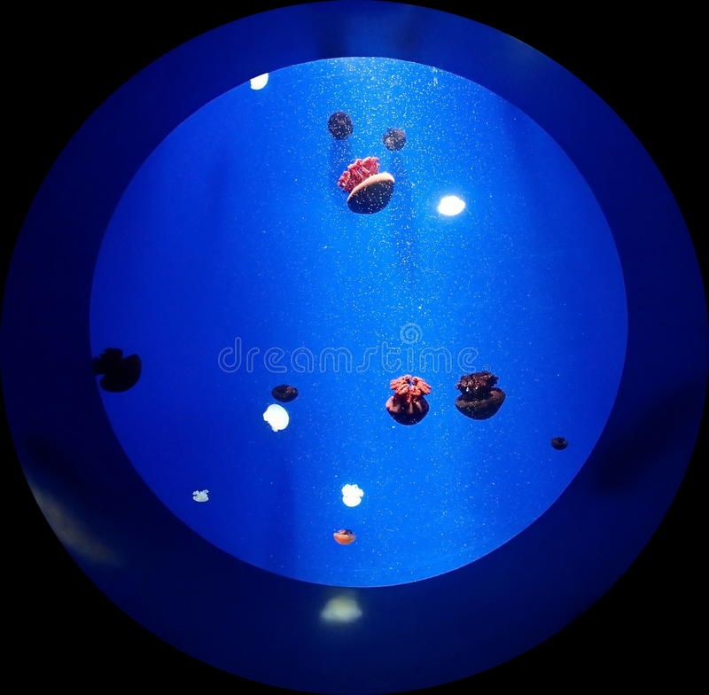 Isolated round aquarium with jellyfish. The round aquarium with jellyfish on a black background royalty free stock photography