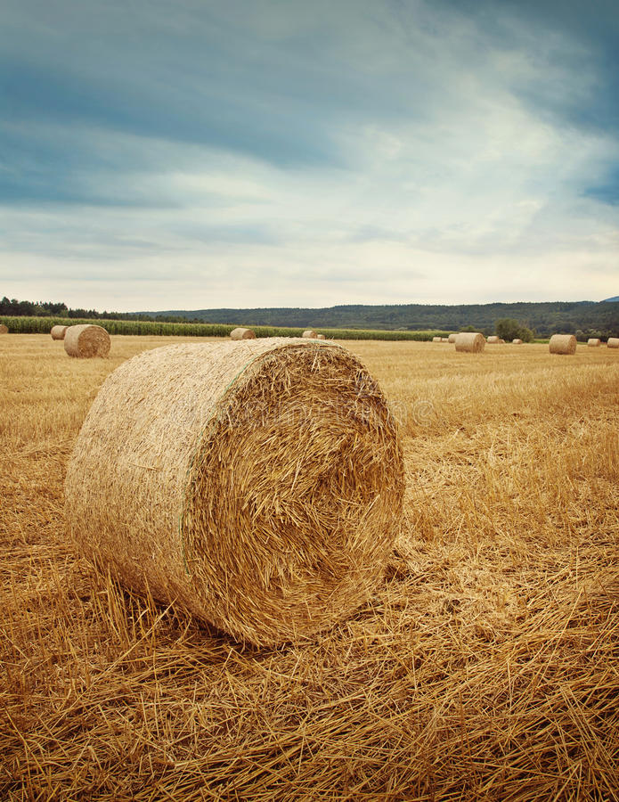 Download Round bales of straw stock image. Image of corn, countryside - 25963203
