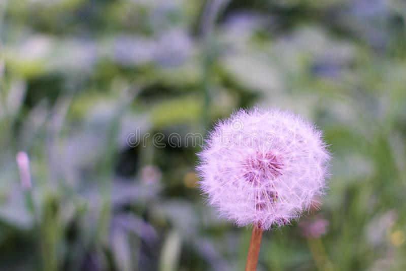 Round ball dandelion on a blurred background. A large flower of a ripened spring wild flower with white fluffy petals, dark seeds in the center, an original royalty free stock photos