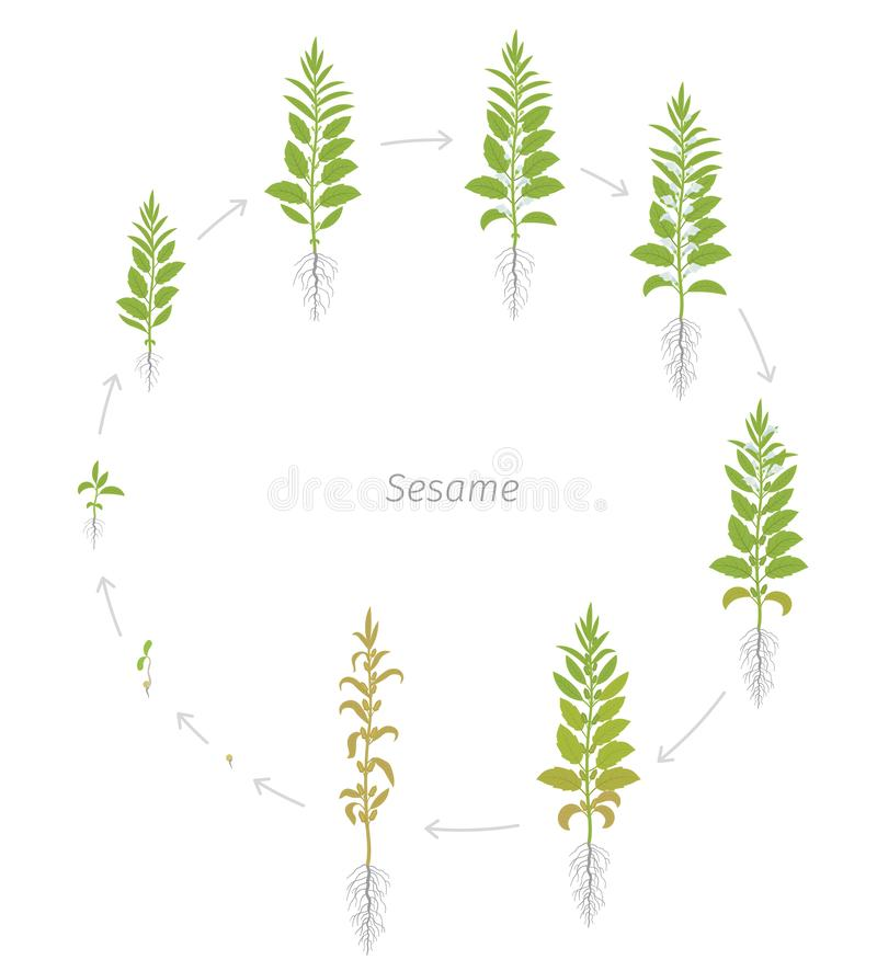 Round crop stages of Sesame plant. New, modern and improved plant specie. Also called benne. Sesamum indicum. Circular vector illustration