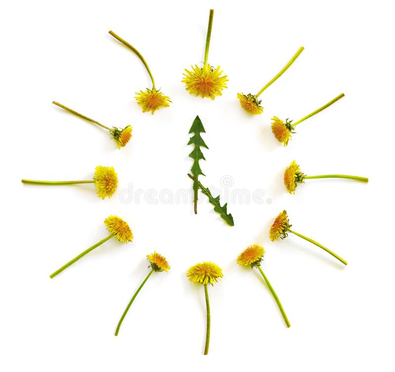 Round dial of yellow dandelion flowers and green foliage on white isolated background. 5 o`clock concept. Flat lay, top view, copy space stock image