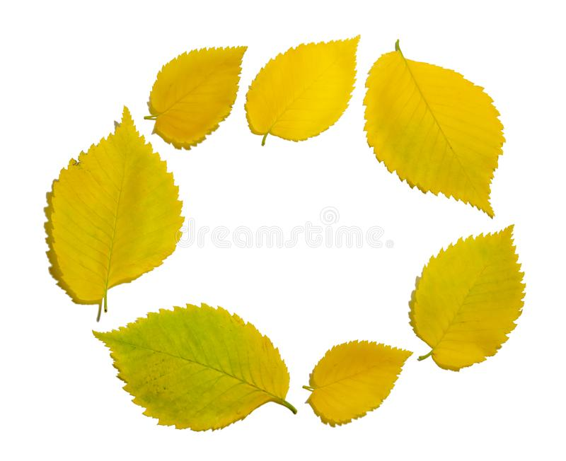 Round frame of yellow autumn elm leaves isolated on white background. Texture close-up royalty free stock image