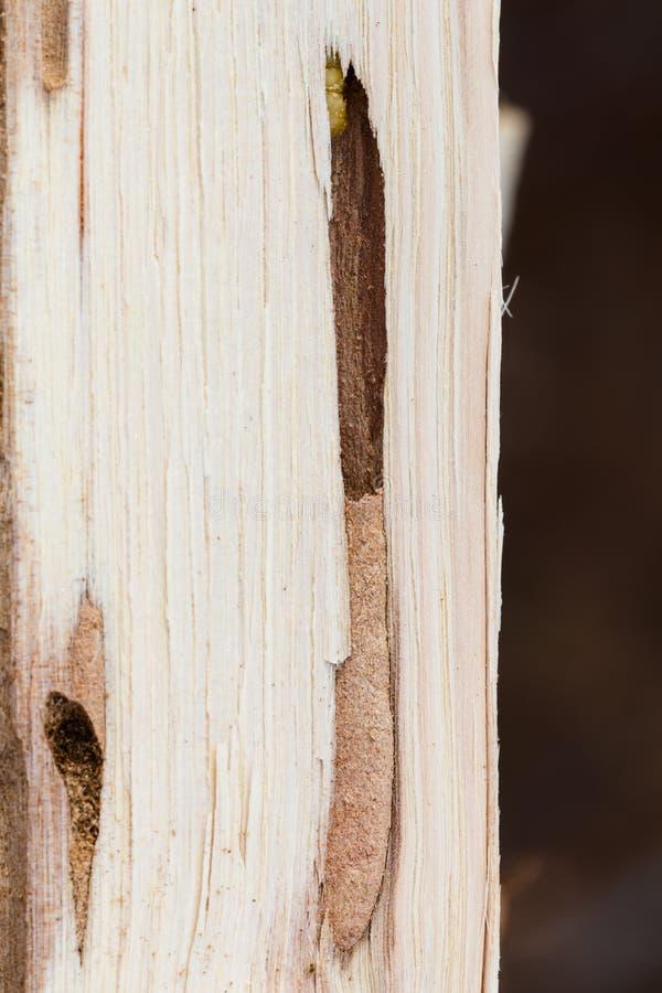Round Głowiasta Borer larwa w dębowej łupce obraz stock