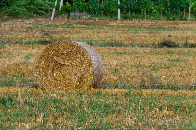Round golden rolls of straw bales in the field after harvesting stock photography