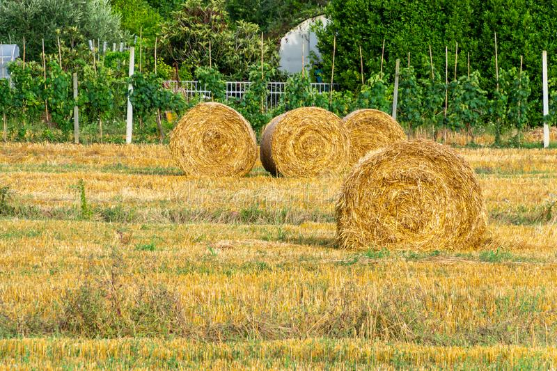 Round golden rolls of straw bales in the field after harvesting stock images