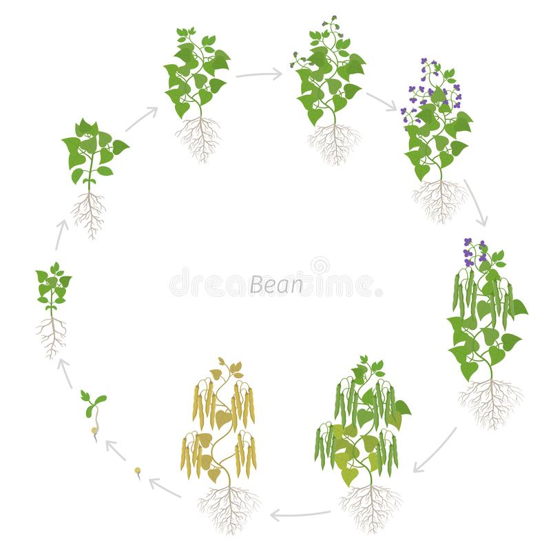 Round growth stages of bean plant with roots. Bean family Fabaceae. Circular phases set ripening period. Life cycle, animation. Round growth stages of bean plant royalty free illustration