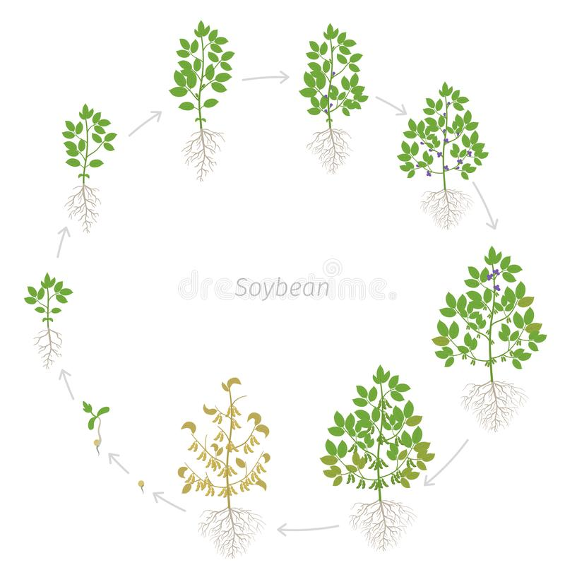 Round growth stages of Soybean plant with roots. Soya bean circular phases set ripening period. Glycine max life cycle, animation. Growth stages of Soybean plant stock illustration