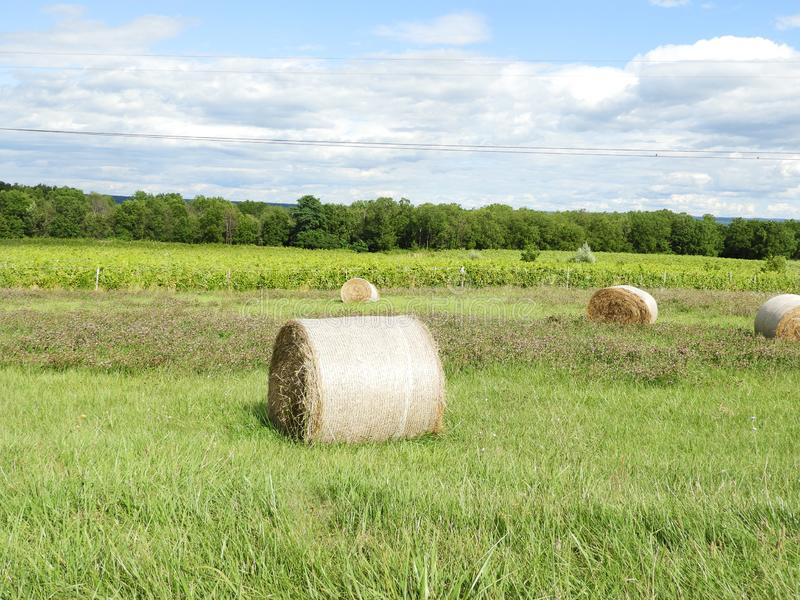 Round hay bales, clover and vineyard grape field stock photo
