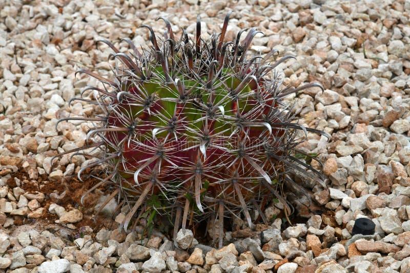 Round kaktus na łóżku z kamieniami fotografia stock
