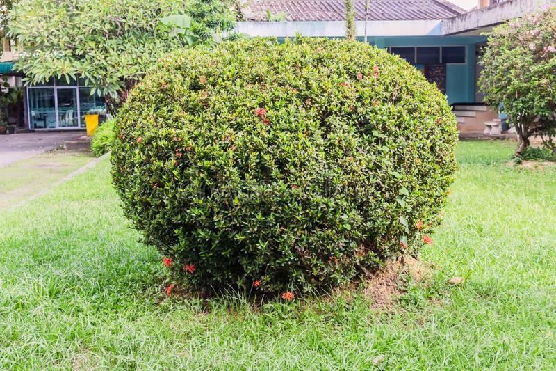 Round kształt zieleni iglaści krzaki w ogródzie obrazy royalty free