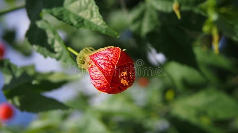 Round kształta kwitnienia czerwoni kwiaty obraz royalty free