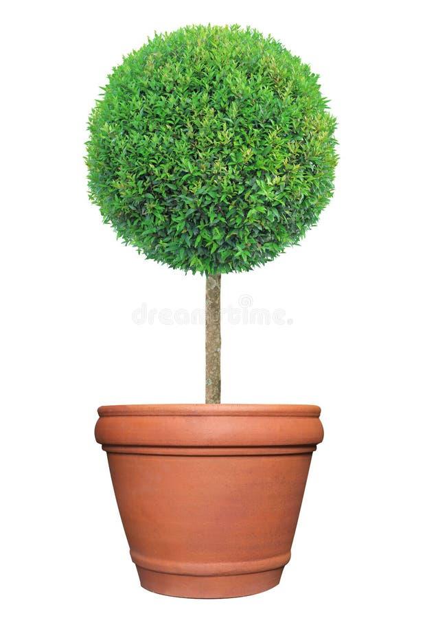 Round kształta topiary drzewo na glinianego garnka zbiorniku odizolowywającym na białym tle fotografia stock
