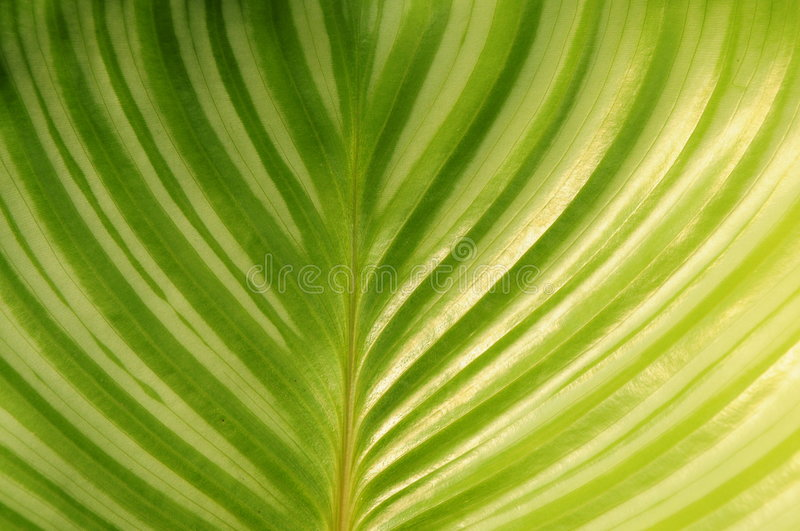 Download Round Leaves Maranta Royalty Free Stock Photography - Image: 5732347