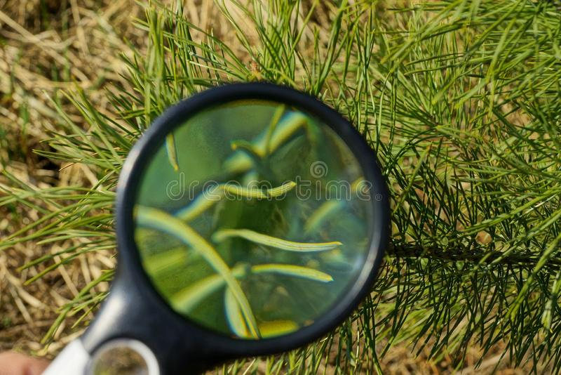Round magnifier increases pine green needles of pine on a tree branch royalty free stock image