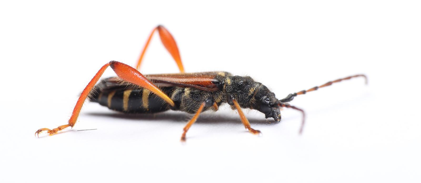 Round-necked longhorn beetle Stenopterus rufus stock photography
