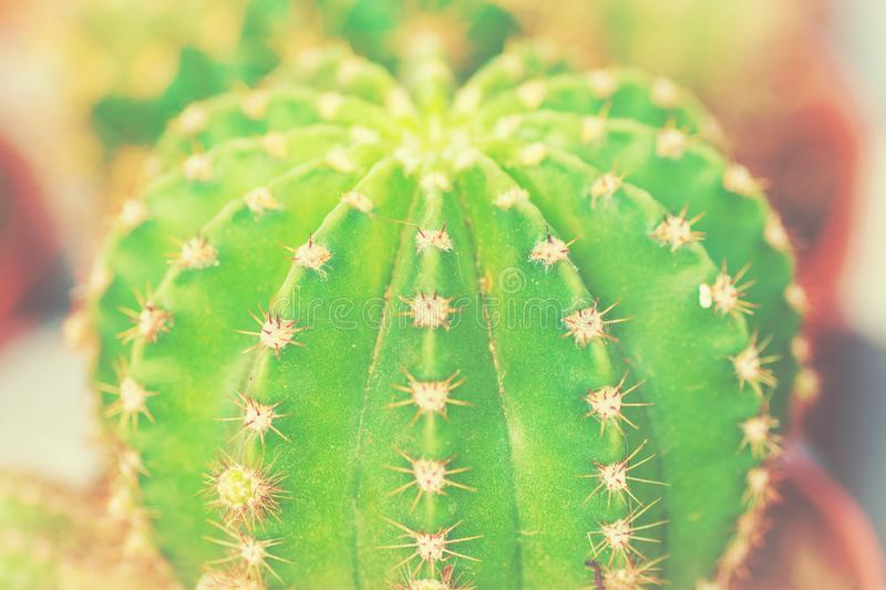 Round potted green spiky thorny cactus on window sill. House room plants urban jungle concept. Soft warm colors vintage royalty free stock photos