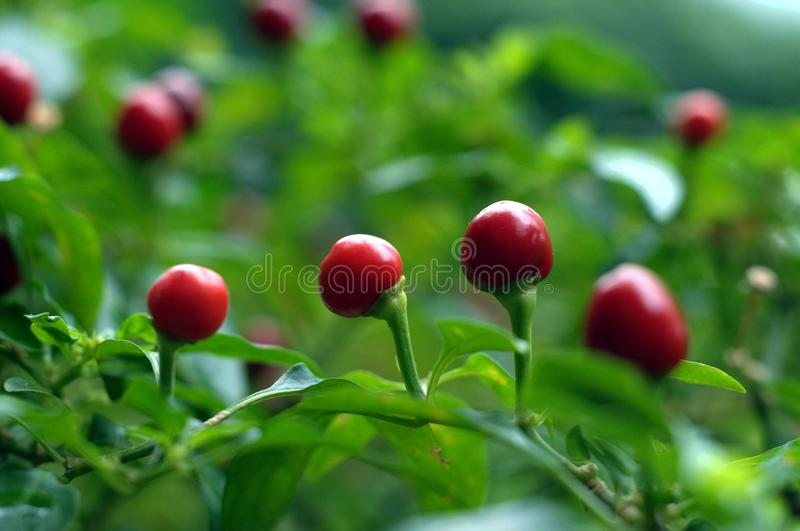 Download Round Red Chilis stock image. Image of detail, flavoring - 14628943