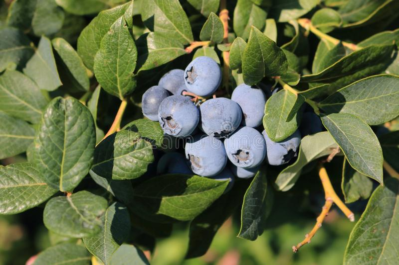 Round and Ripe Blueberries royalty free stock photos