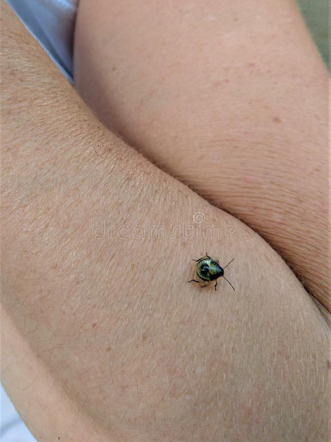 Iridescent bug on womans` wrinkled arm. Round shiny insect with long antennae crawl amidst the hairs of a forearm and crease of an elbow.  Green and black the royalty free stock image