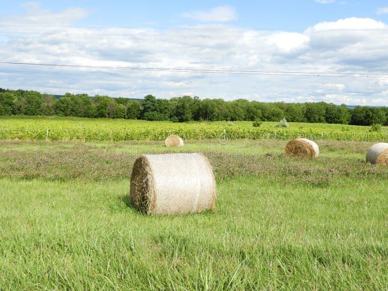Round siana bel, koniczyny i winnicy winogrona pole, zdjęcie stock