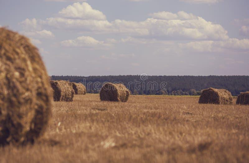 round snopy pszeniczna słoma na polu na słonecznym dniu przeciw niebieskiemu niebu fotografia royalty free
