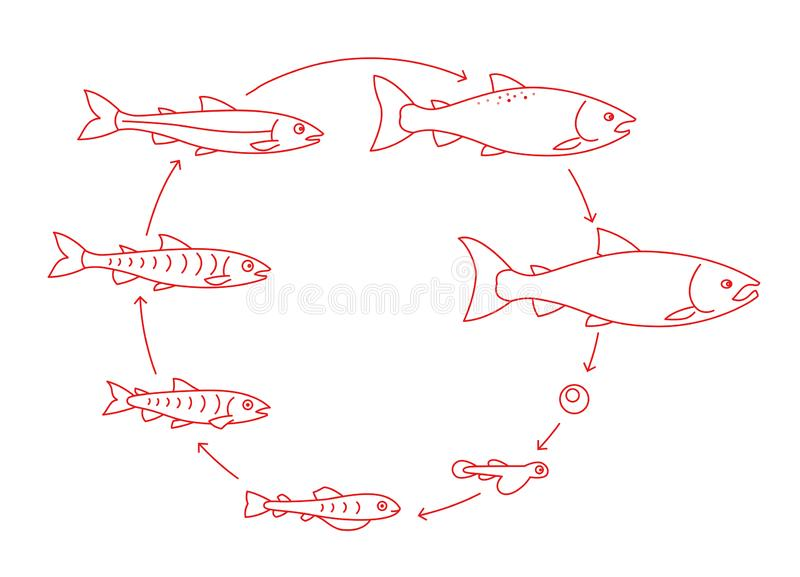Round stages of salmon fish growth set. From parr to adult sockeye fish development. Grow up animation progression. Aquaculture cycle. Outline contour red line stock illustration