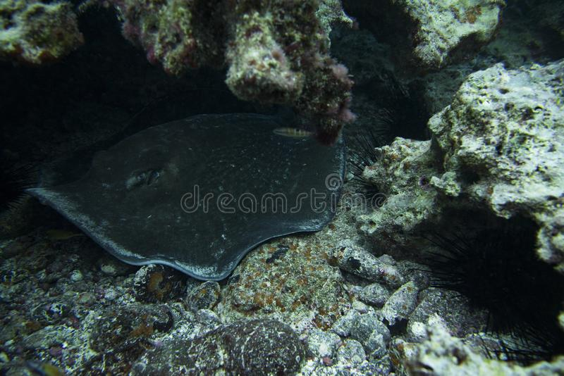 Round Stingray royalty free stock image