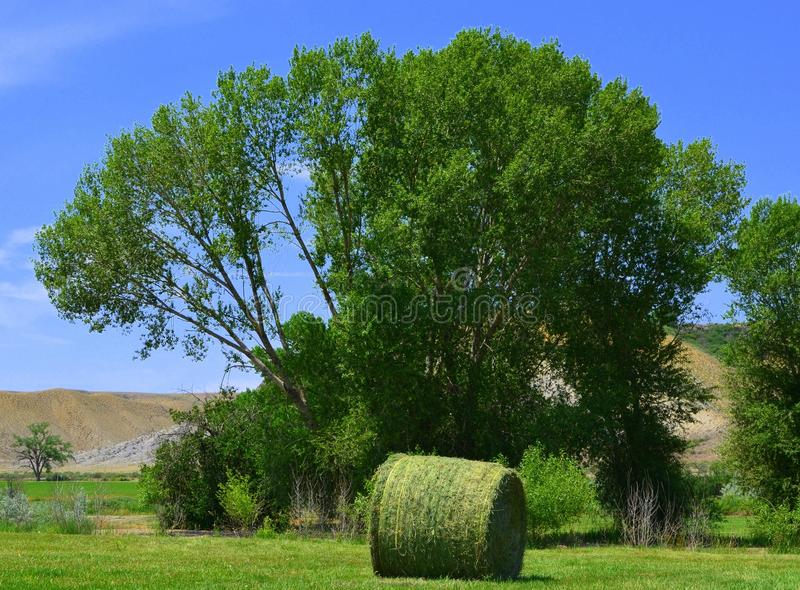Round straw bale in front of cottonwood stock images