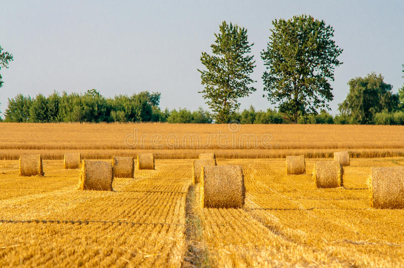 Round straw bales in harvested fields. And blue sky stock photo