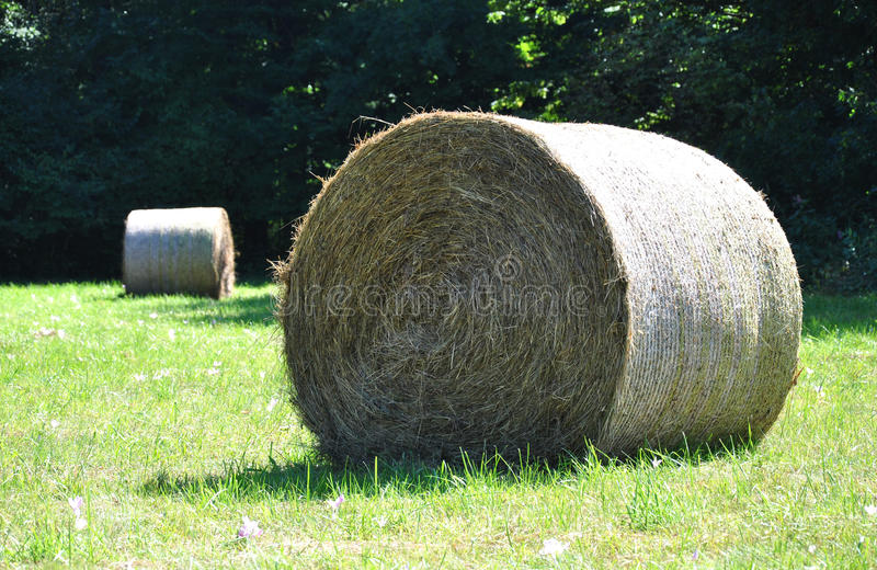 Round straw in the meadow. Wheel of dry straw on green field in the background forest stock image