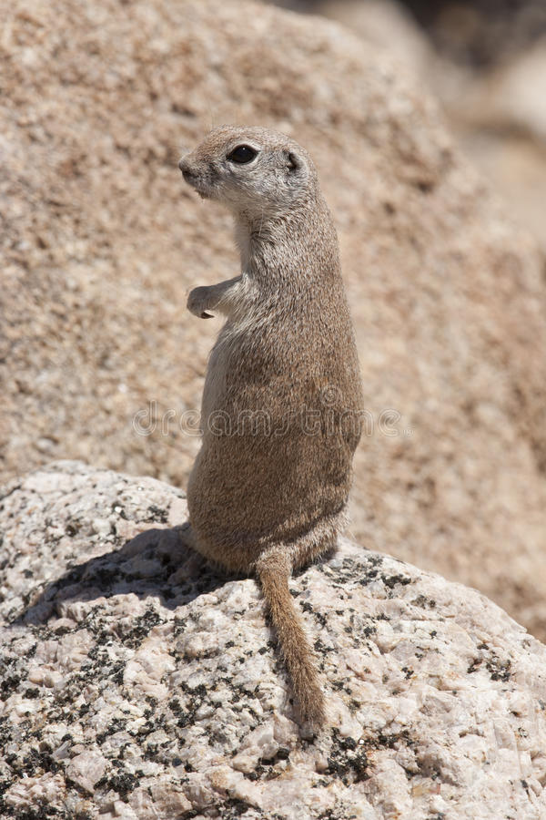 Download Round-tailed Ground Squirrel Stock Photo - Image of desert, rodent: 24808722