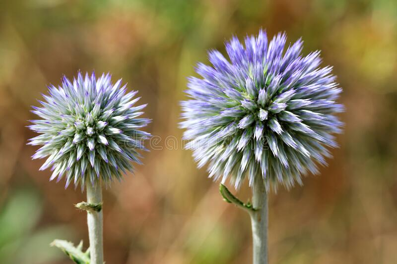 Round thistle flower of spherical shape of lilac color royalty free stock photos