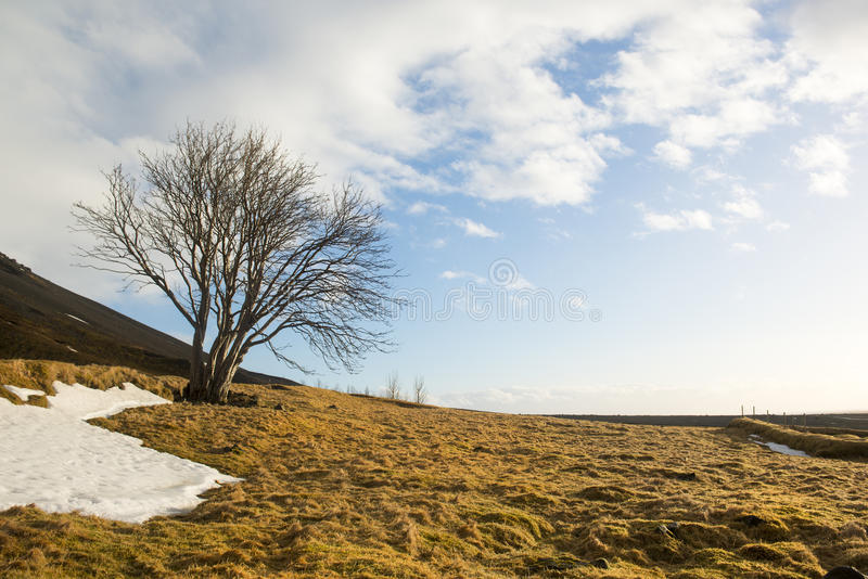 Round tree without leaves, yellow grass and snow with natural sky background, South Iceland royalty free stock photos