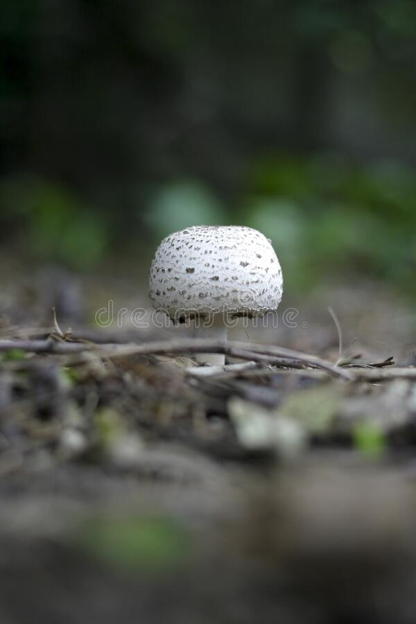 Round White and Grey Mushroom on Forest Floor royalty free stock image