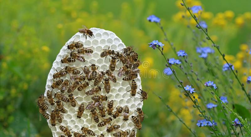 Round white honeycomb with bees on yellow and blue flowers background stock photography